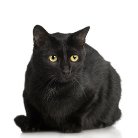 image of black cat  - Black Cat in front of a white background - JPG