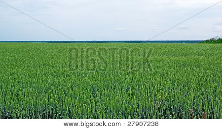 Field Of Green Rye And Cloudy Sky. Tungsten Weather.