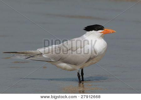 Royal Tern on the Beach at Cumberland Island, Georgia