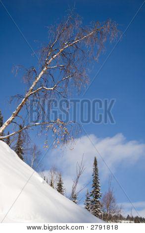 Tilt Birch On Wilderness Slope