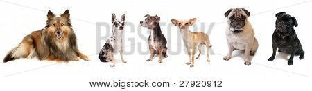 Group Of Small Dogs
