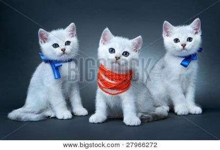 Kittens of the British breed. Rare coloring - a silvery chinchilla ?