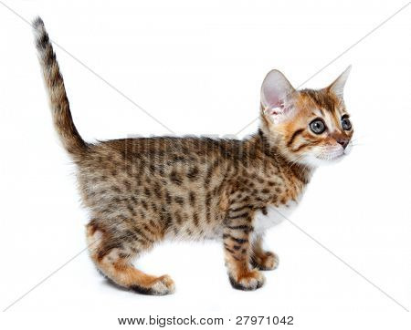Kitten of the Bengal breed. Age - 1 month