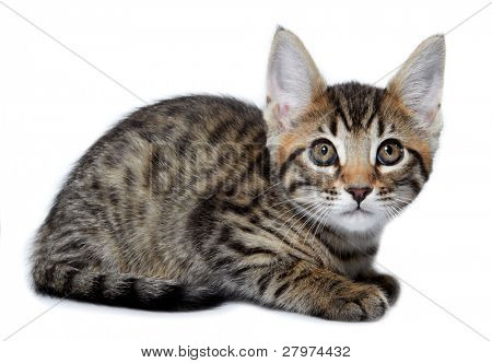 Kitten of the Metis breed ( Bengal + Maine Coon). Age - 2 month.