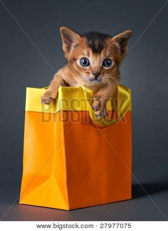 Kitten abyssinian.