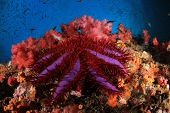 Crown-of-thorns Starfish eating coral  poster