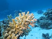 Colorful Coral Reef At The Bottom Of Tropical Sea, Acropora Coral, Underwater Landscape poster