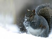 Gray Squirrel - Sciurus Carolinensis - Eastern Gray Squirrel Or Grey Squirrel, Closeup On Snow. poster