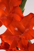 image of gladiola  - Some pretty red gladiolas over a white background - JPG