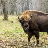 Aurochs In The Forest. The European Bison (bison Bonasus), Also Known As Wisent Or The European Wood poster