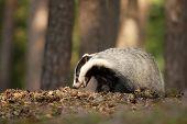 Badger In Forest, Animal Nature Habitat, Czech. Wildlife Scene. Wild Badger, Meles Meles poster
