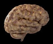 foto of temporal lobe  - 3D Illustration of a brain with veins - JPG