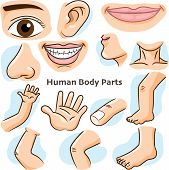Human Body Parts, Different Parts Of The Body For Teaching. Body Details, Cartoon Flat Design - Vect poster