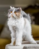 White, Grey And Ginger Persian Cat Standing On A Chair Or Sofa Looking Up. A Persian Cat With Vivid  poster