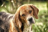 Beagle Walk On Fresh Air. Hunting And Detection Dog. Dog With Long Ears On Summer Outdoor. Cute Pet  poster