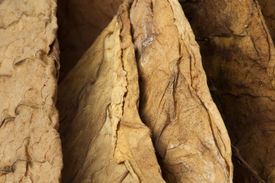 foto of tobaco leaf  - Dried tobacco leaves fine details closeup studio shot - JPG