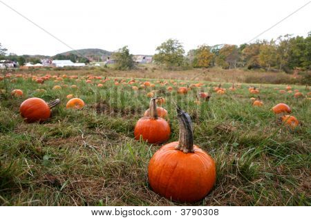 Small Pumkins In Farm Patch