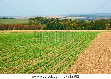 Edge of sown wheat fields near the forest