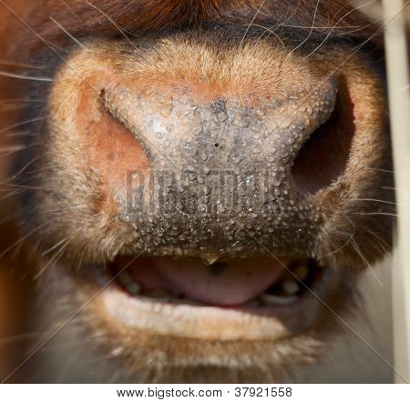 Cow Nose Close Up