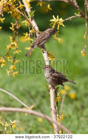 Sparrows In Spring