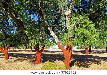 Cork Trees Stripped