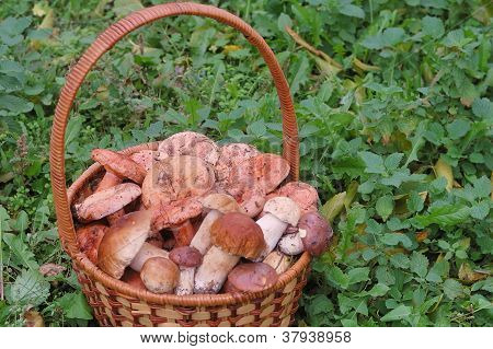 basket of freshly picked red and white mushrooms