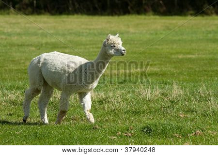 Alpaca on the move
