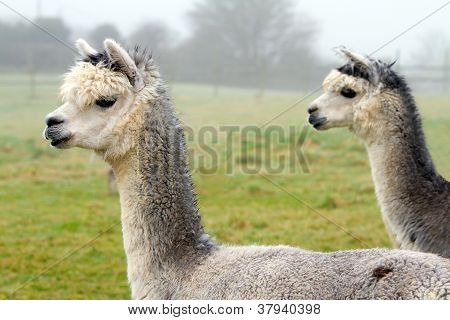 Two grey Alpacas