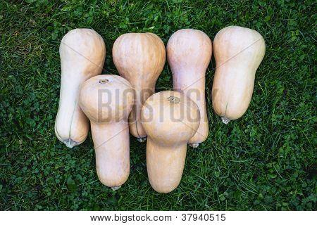 Butternut Squash, Cucurbita Moschata