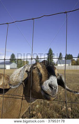 Nubian Goat Portrait.