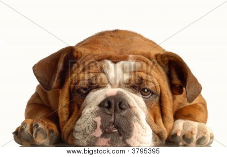 Bulldog Lying Down Face