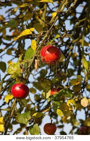 mellow red apples