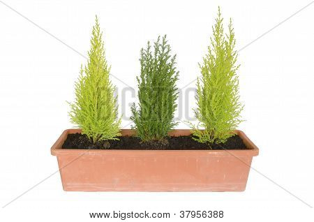 gardener with three fir trees isolated