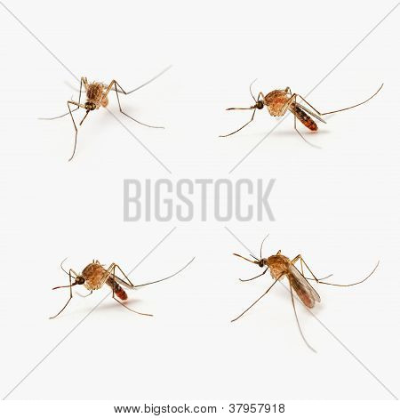 Four mosquitoes