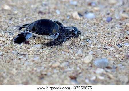 Green Sea Turtle Hatchling