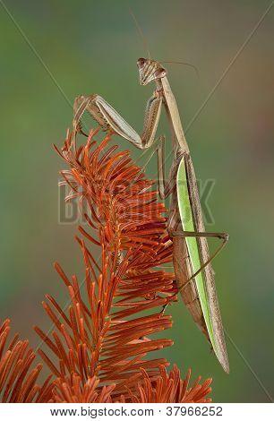 Mantis On Evergreen