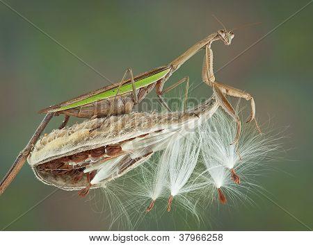 Mantis On Milkweed Pod