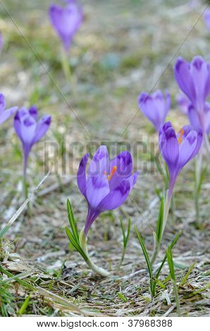 Crocus, Spring In Mountains
