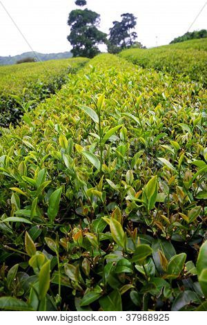 Closed up Green Tea Field