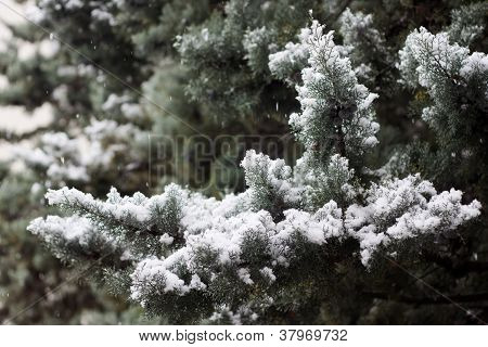 Snow-covered pine tree