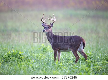 White-tailed Deer Buck In Foggy Meadow