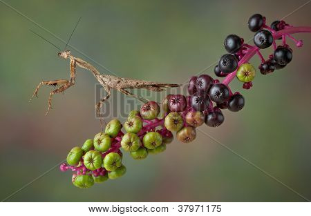 Mantis On Poke Weed
