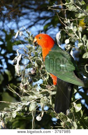 Male King-Parrot Alisterus Scapularis