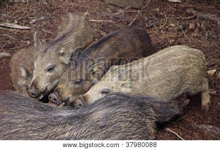 Wild Boars Sucking Their Mother