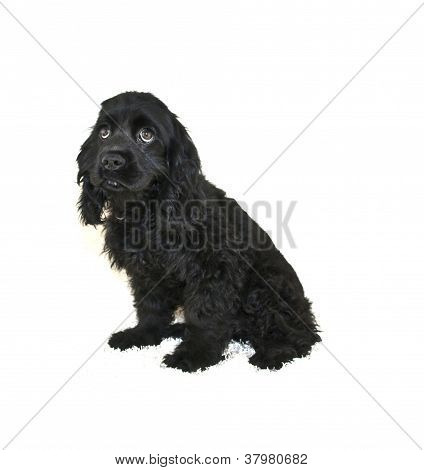 Cocker Spaniel filhote de cachorro