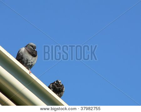 New Orleans Pigeons