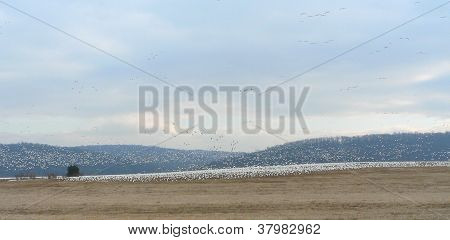 Snow Geese Wide