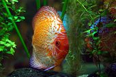 stock photo of diskus  - diskus fish in a tank - JPG