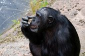 picture of itchy  - Chimpanzee scratching his itchy nose with his finger - JPG