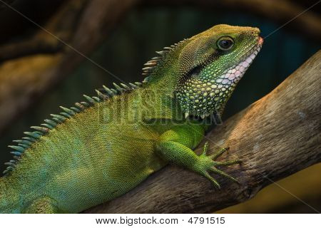 Thai Water Dragon